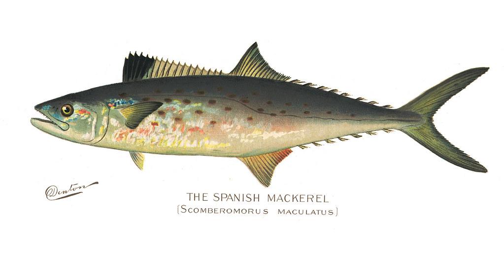 Spanishmackerel fish spanish mackeral nys dec flickr for Nys dec fishing