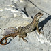 Curly-Tailed Lizard on Cat Island