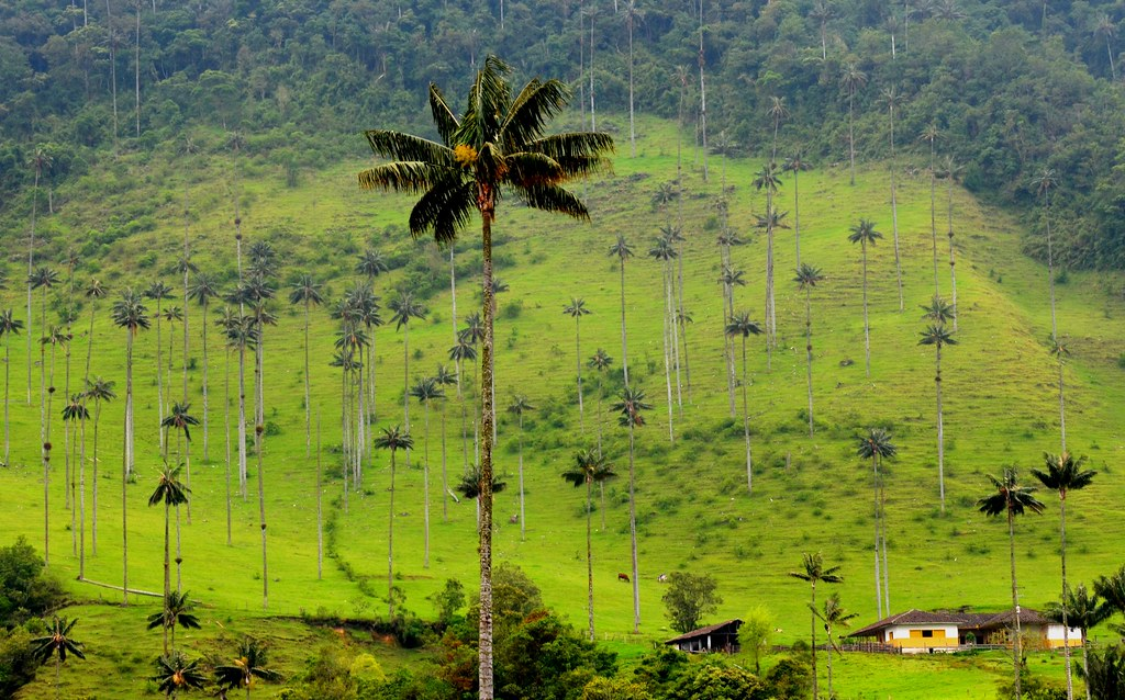 Palma De Cera Del Quindio Arbol Nacional De Colombia