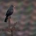 Blackbird on weather vane