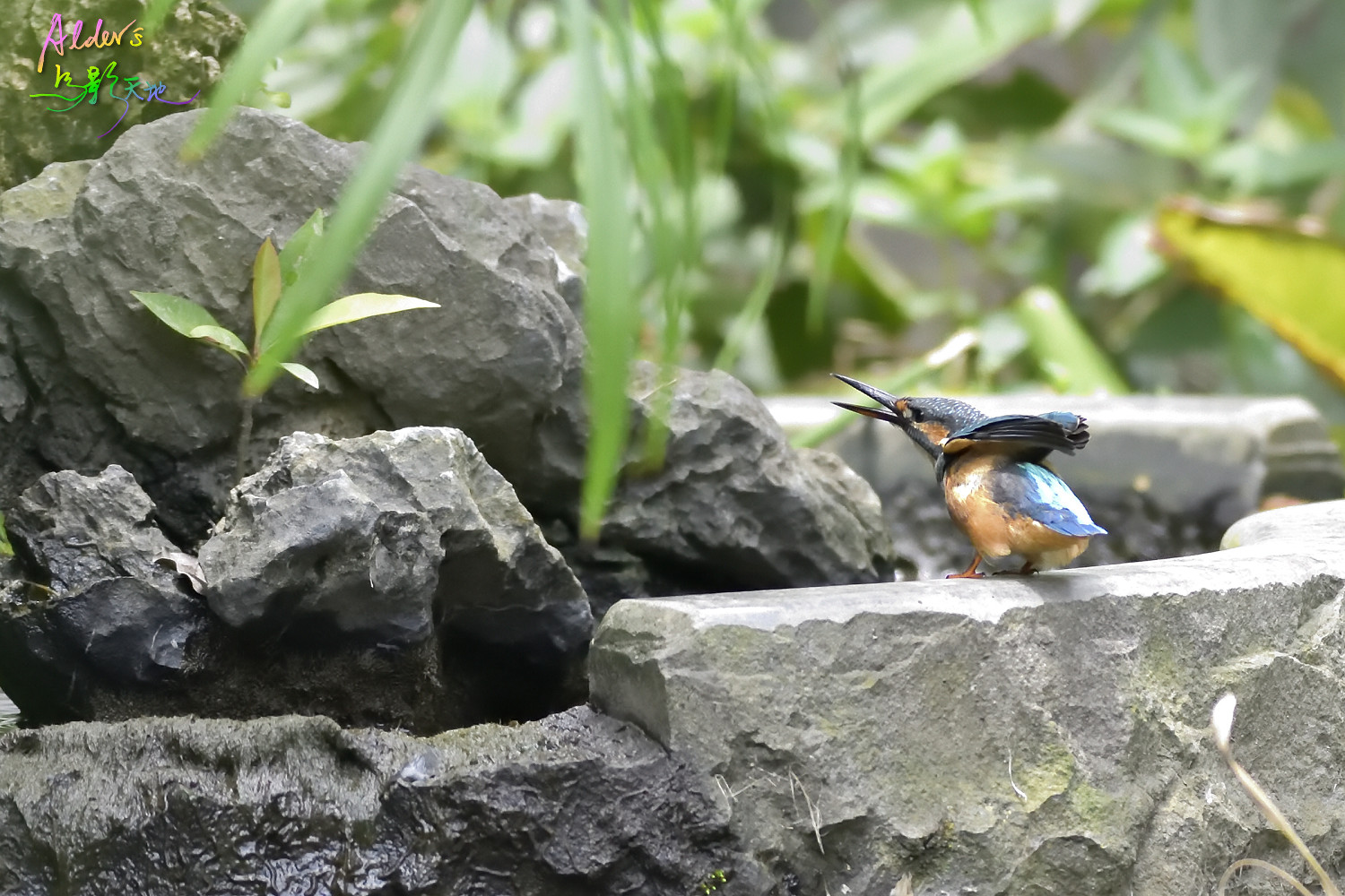 Common_Kingfisher_6906