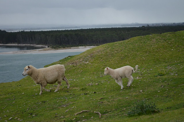 sheep running - Mount Maunganui