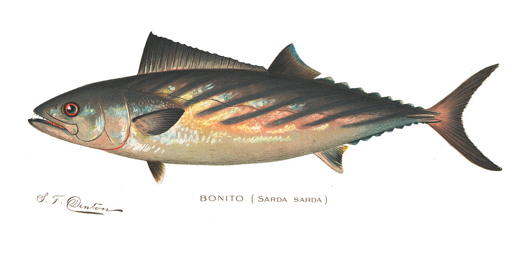 bonito bonito fish nys dec flickr