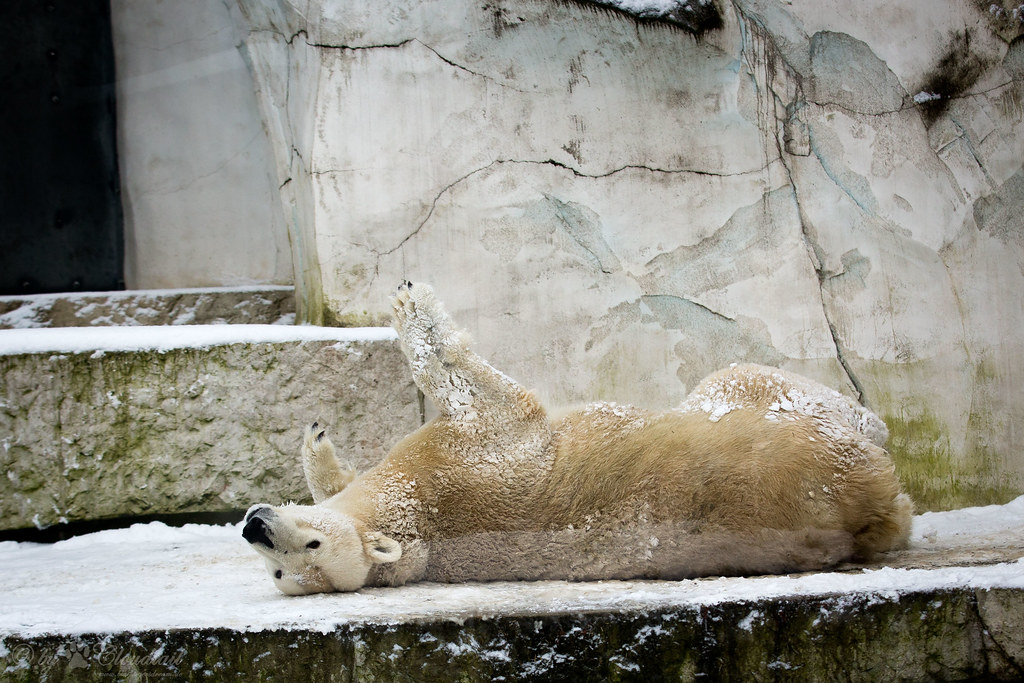 Rolling on the ground a pic from polar bear i ve seen