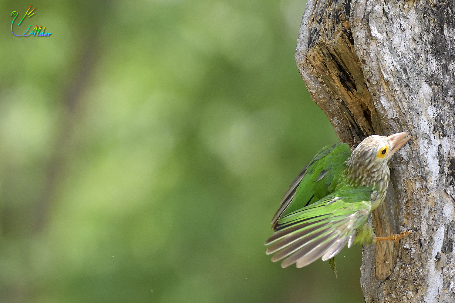 Lineated_Barbet_6888