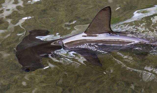 Hammerhead shark baby - photo#18
