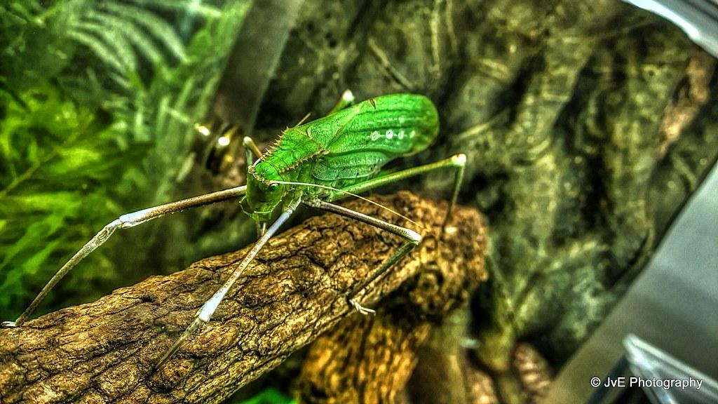 Giant long-legged katydid | Giant katydids (Macrolyristes ...