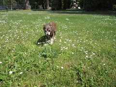 Hyzzie in the daisies