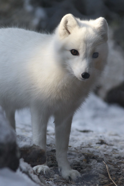 Arctic Fox In Dappled Light Flickr Photo Sharing
