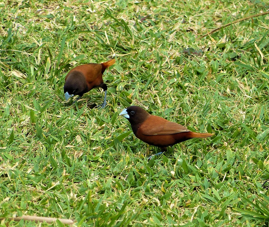 Kauai Chestnut Munia Blue Billed Blue Legged Birds James B