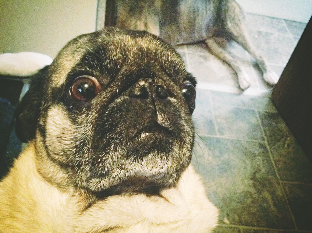 _pug_face | Pugs make funny faces sometimes. | James ...