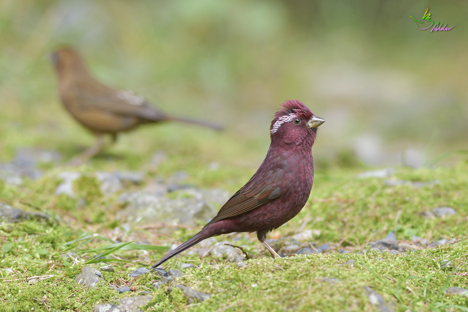 Vinacceus_Rose_Finch_5424
