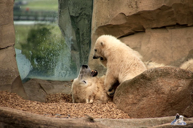Eisbär Lili im Zoo am Meer 15.05.2016  207