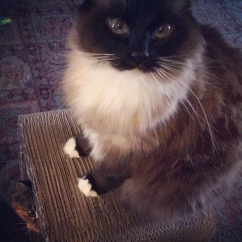 Where's Wylla? #charlenebutterbean #wyllastout #permakitten #kitten #cat #ibkc