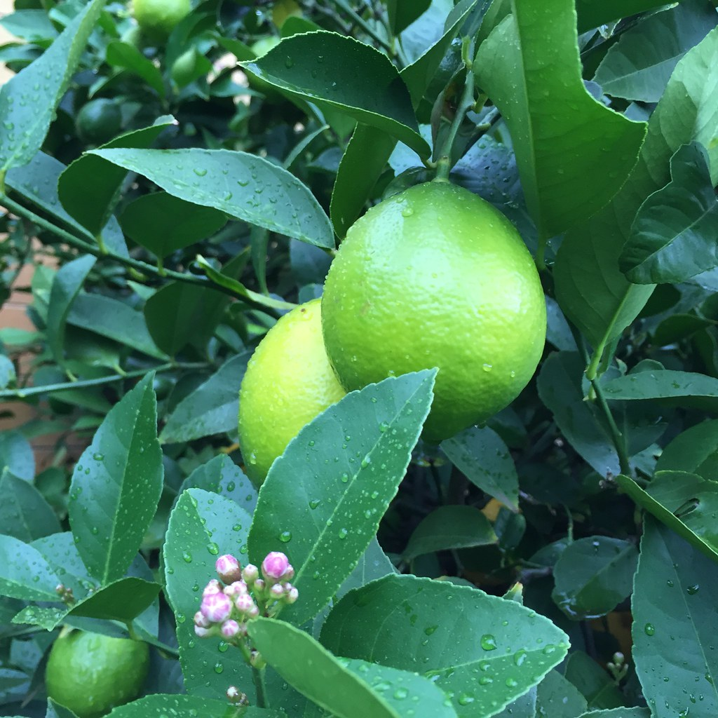 a couple of lemons hanging in a lemon tree