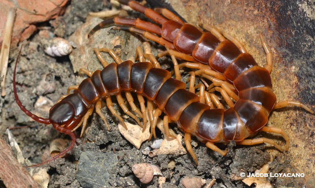 Giant Centipede Scolopendra Ssp An Impressively Large