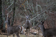 Whitetail mom on alert
