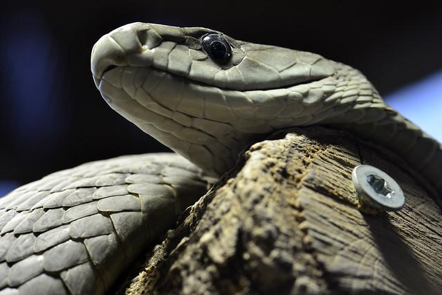 Black Mamba Snake