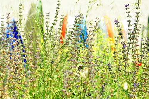 Botanischer Spaziergang am Atlantik (Bretagne) - Wildpflanzen in Küstennähe - hier: Wiesensalbei - Foto: Brigitte Stolle 2016