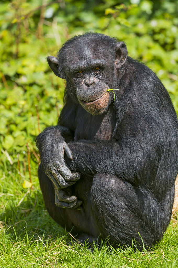 Chimpanzee Looking Cool A Chimpanzee Sitting In The