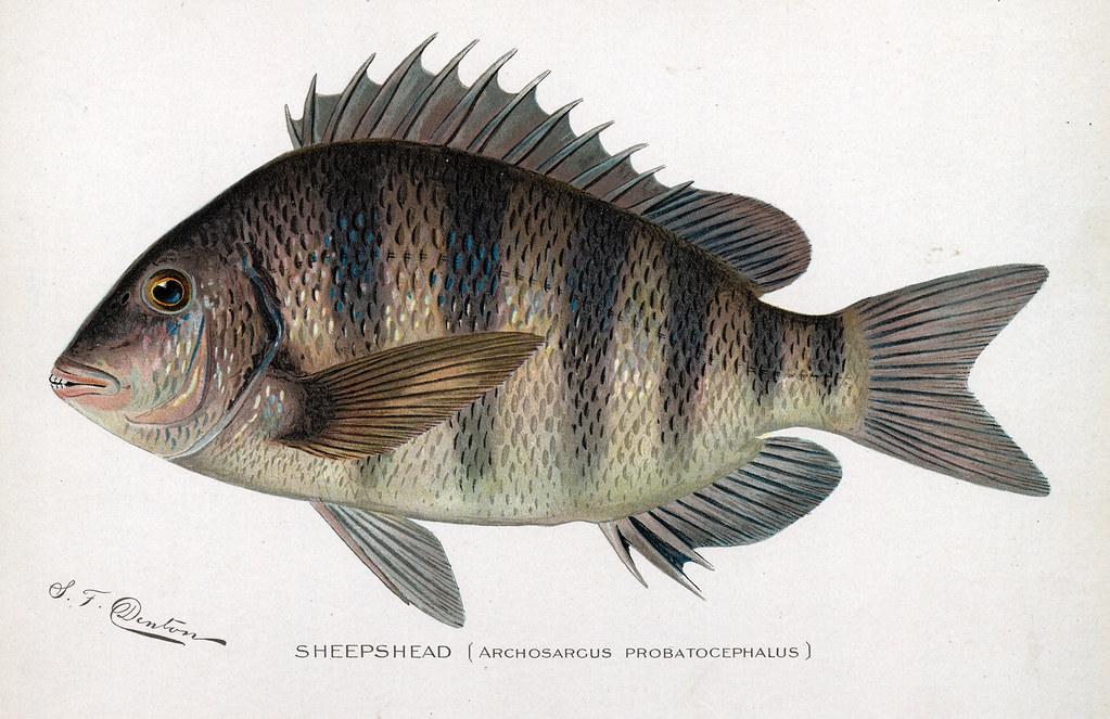 Sheepshead sheepshead fish nys dec flickr for Nys dec fishing