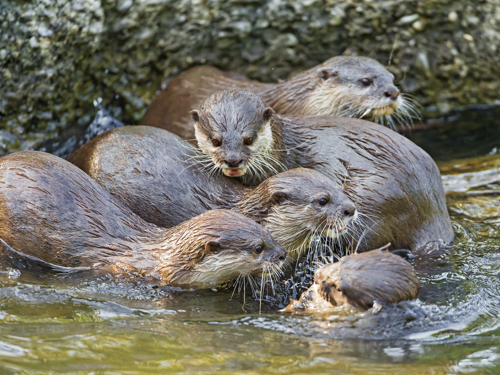 Otters Playing In The Water Ii Another Picture Of The