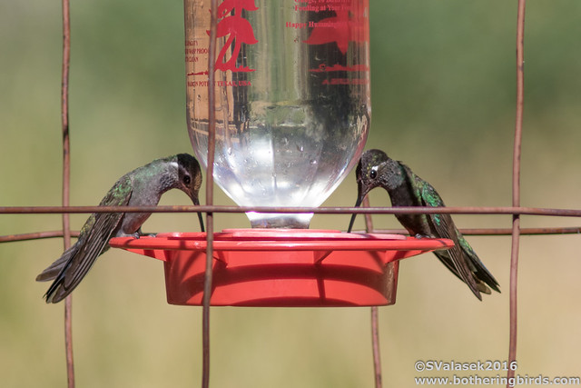 Blue-Throated and Magnificent  Hummingbirds
