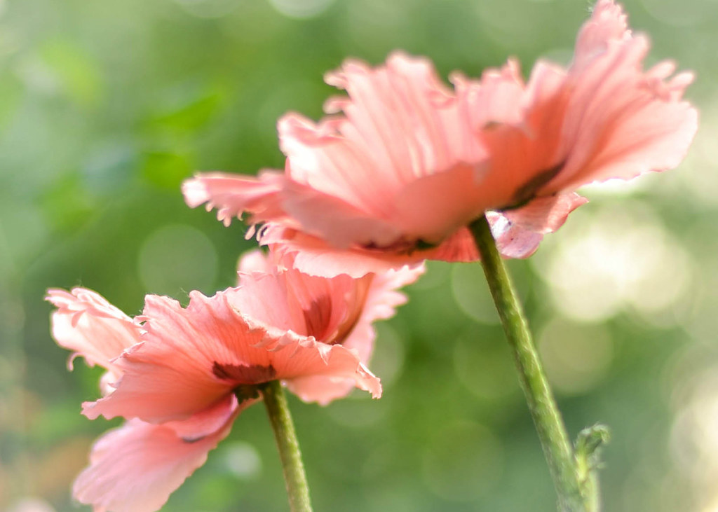 ... Poppies (Explored) | I love playing with flowers,… | Flickr
