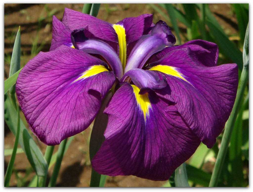 """ e of the meanings of an iris flower is love """