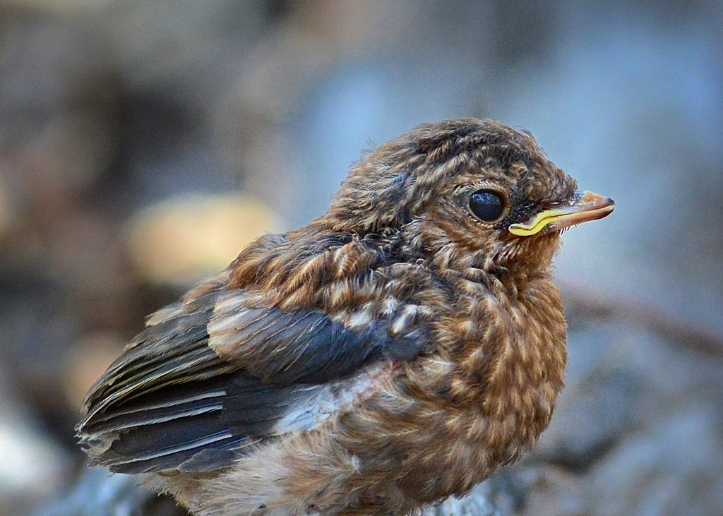 Eastern Yellow Robin, fledgling   Eastern Yellow Robin ... Bird Nest With Bird