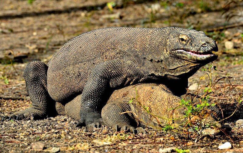 Komodo Dragon Giant Lizard | The Komodo dragon (Varanus ... | 800 x 504 jpeg 155kB