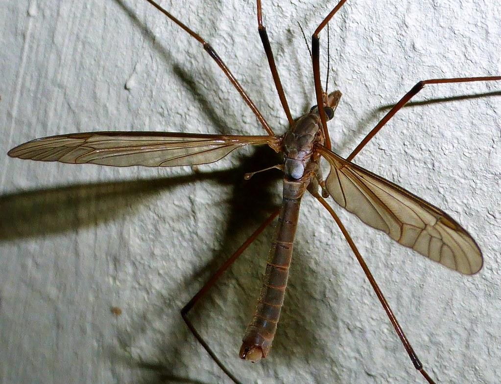 schnacke crane fly tipula on explore 155 flickr. Black Bedroom Furniture Sets. Home Design Ideas