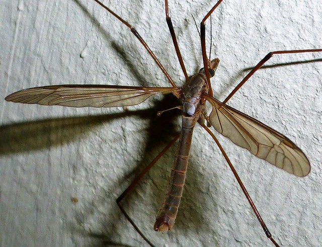 schnacke crane fly tipula on explore 155 flickr photo sharing. Black Bedroom Furniture Sets. Home Design Ideas