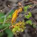 Orange Rose Rust (Phragmidium)