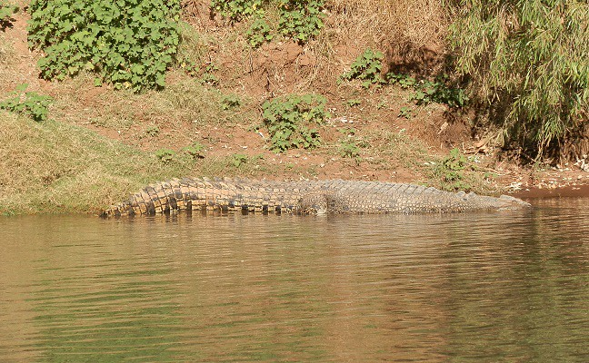 Crocodile on the banks of the Victoria River