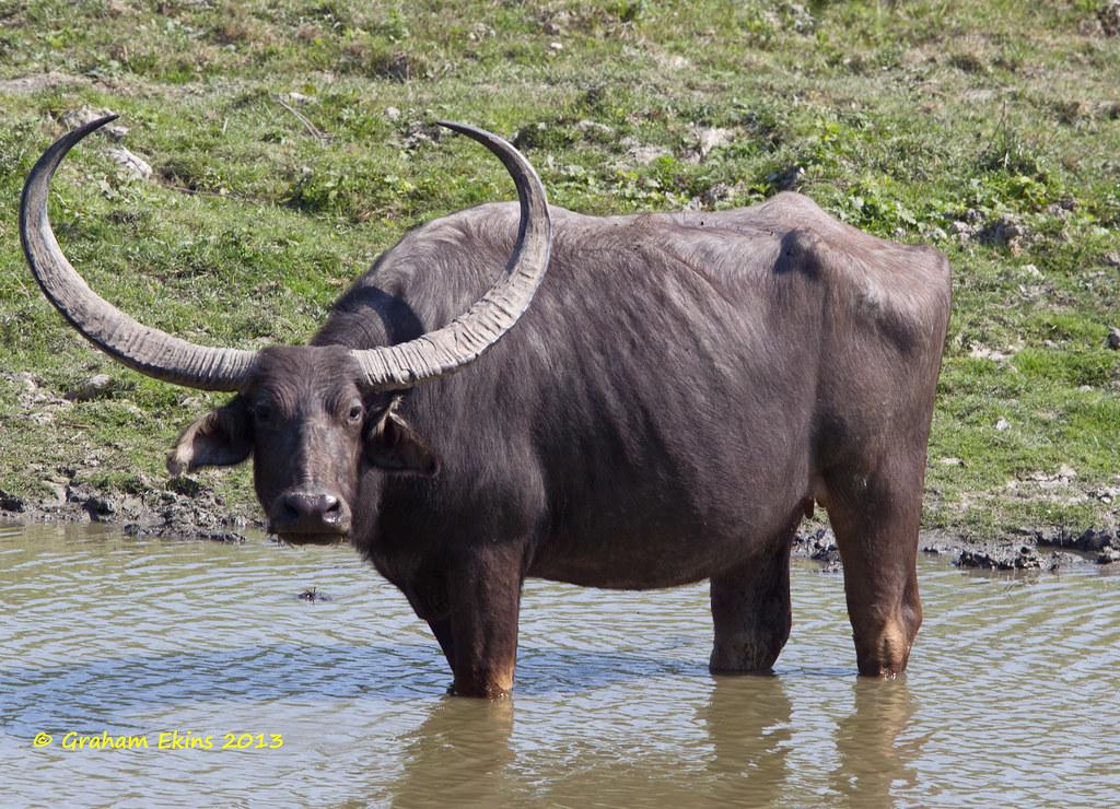 Asian Wild Buffalo, Bubalus arnee, IUCN Endangered, Flickr