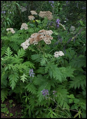 Tanacetum macrophyllum (1) - Copie