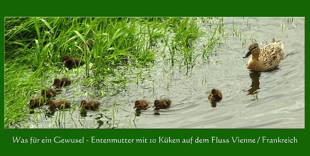 Was für ein Gewusel - Entenmutter mit 10 Küken auf dem Fluss Vienne / Frankreich ... Foto: Brigitte Stolle