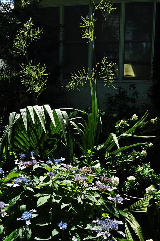 Hydrangea macrophylla 'Mariesii' (1)