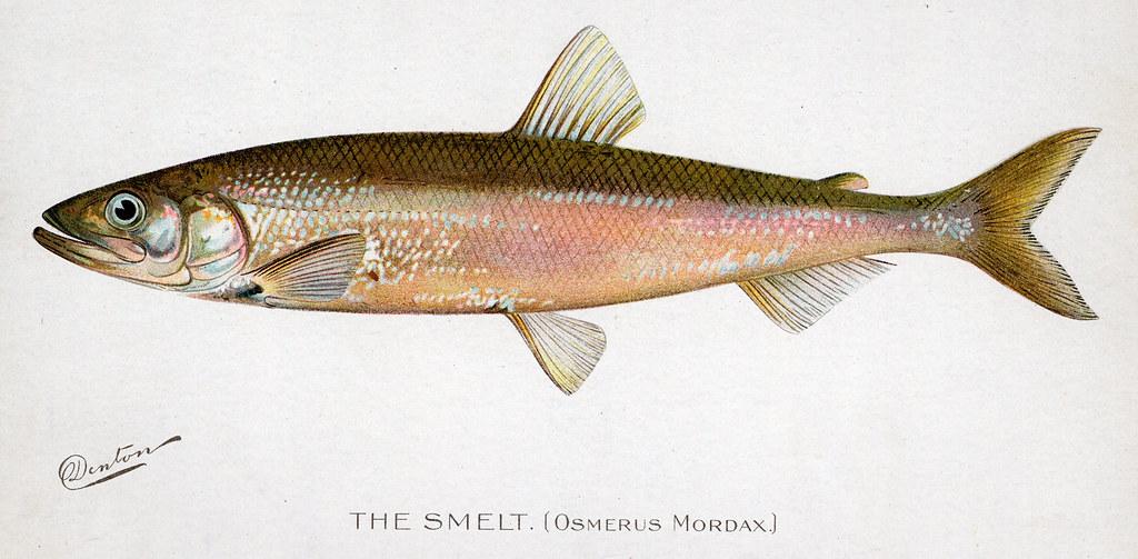 Smelt smelt fish nys dec flickr for Nys dec fishing