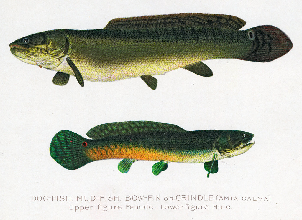 Bowfindogfish bowfin dog fish nys dec flickr for Nys dec fishing
