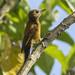 Smoky-brown Woodpecker - Jardin - Colombia_S4E4935
