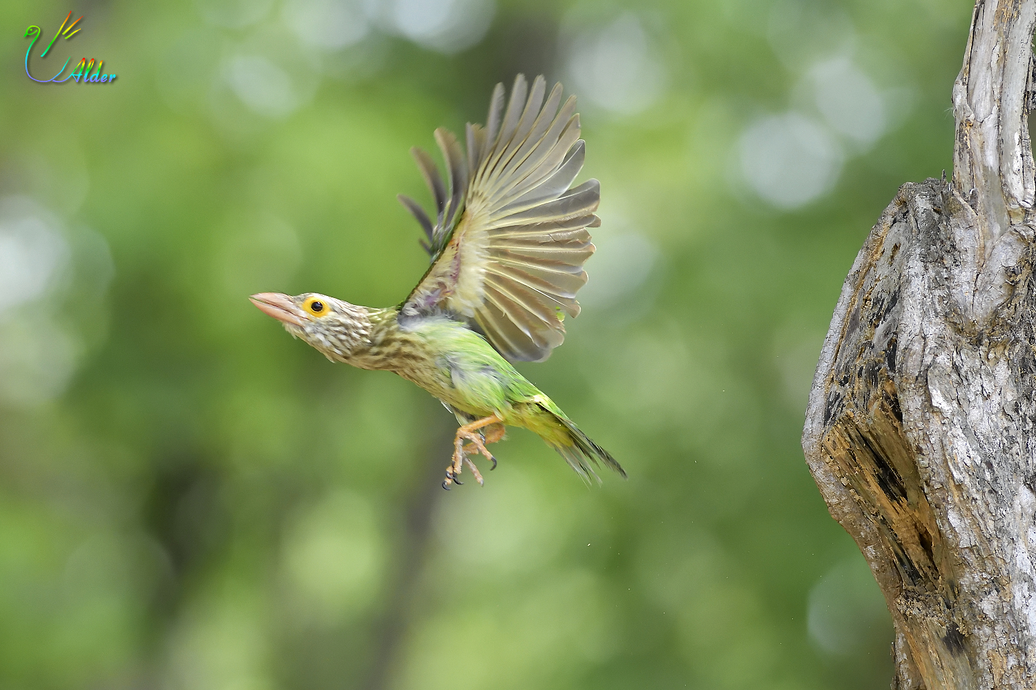 Lineated_Barbet_6896