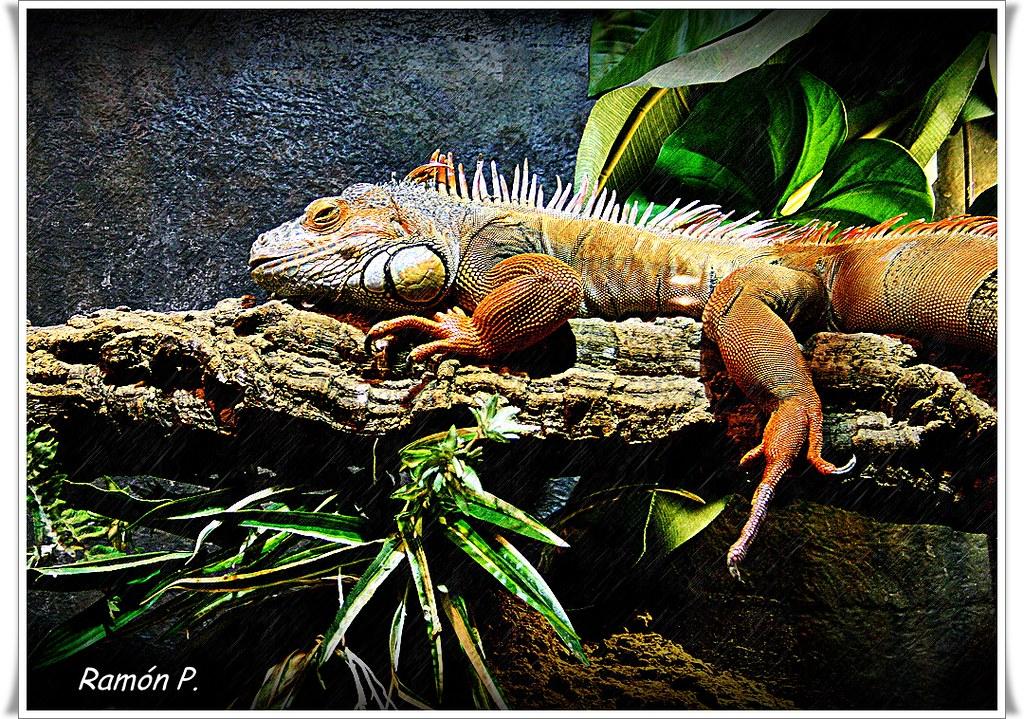 Iguanidae Iguanidae