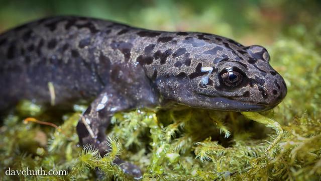 Pacific Giant Salamander (Dicamptodon tenebrosus) - rare ...