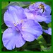 Eendagsbloem - Virginia spiderwort