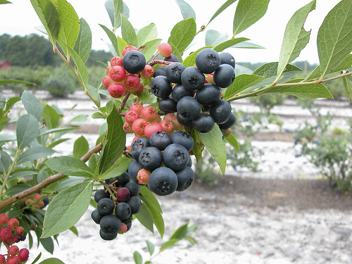 A winter-hardy, black-fruited blueberry