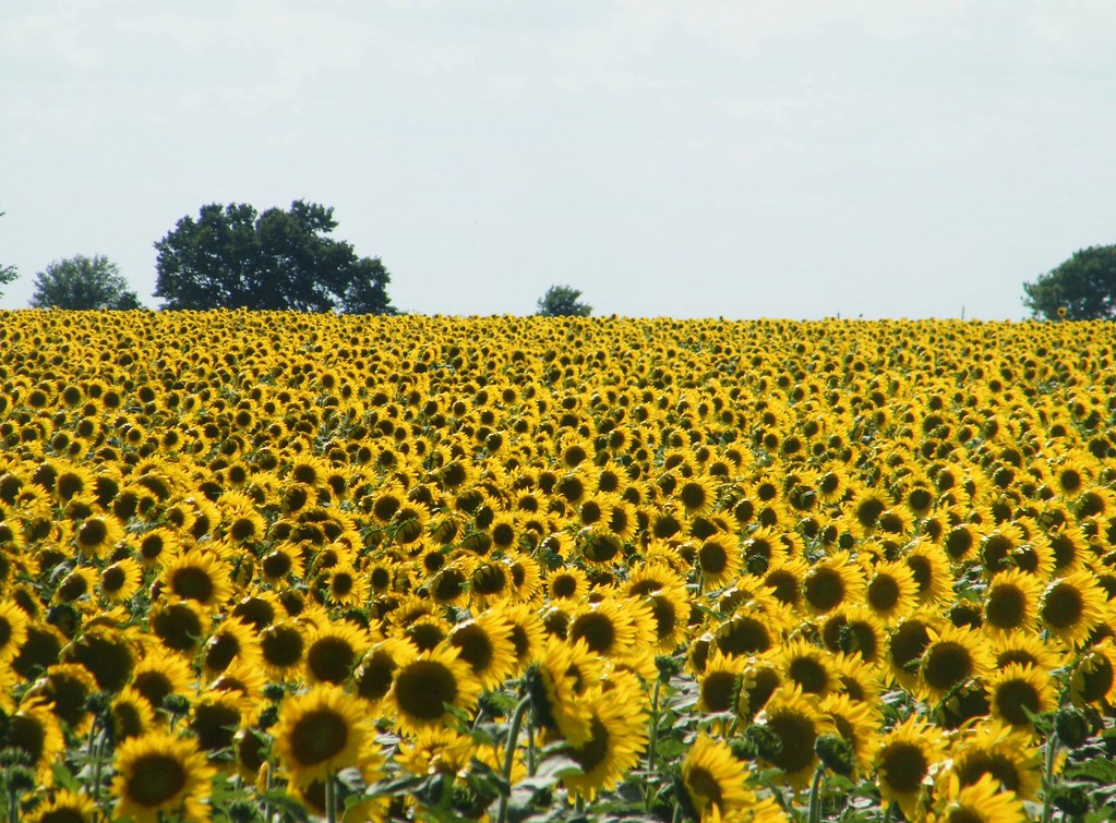 Image Result For A Sunflower Field