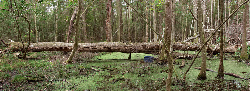 Fallen Swamp Tupelo in the swamp