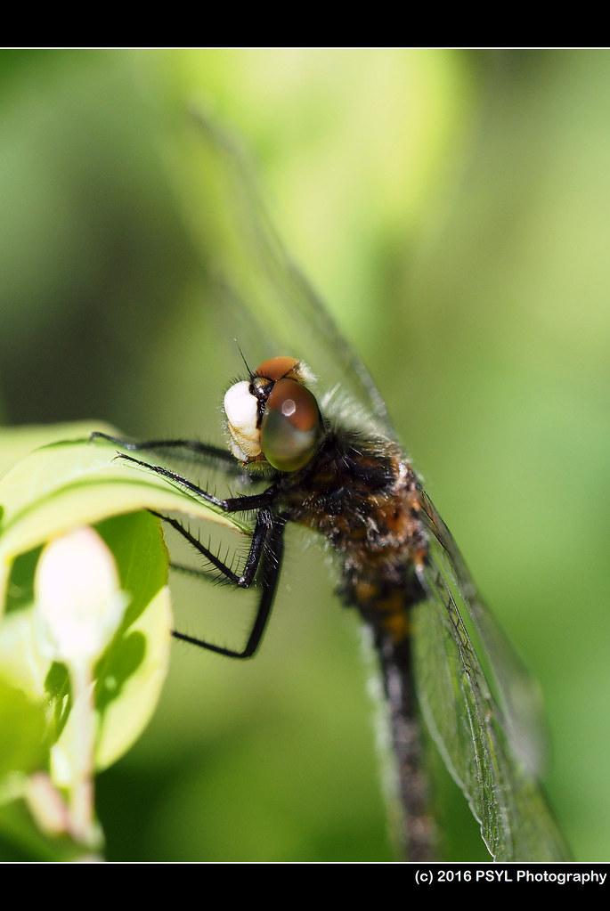 Whiteface dragonfly (Genus Leucorrhinia)